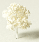 Deciduous tree white, h = 30